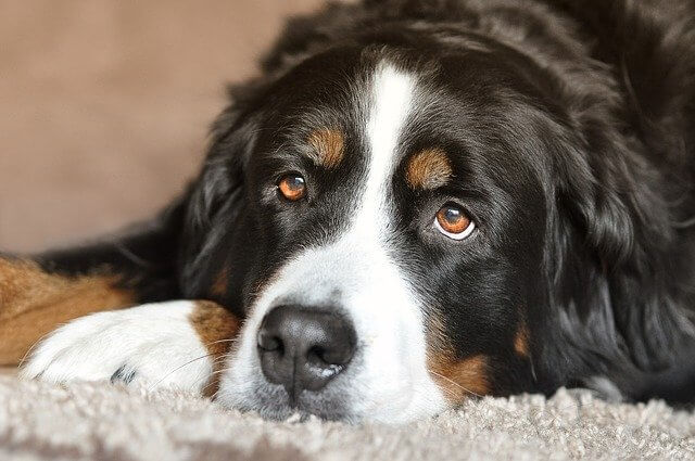 Digestive problems like bloating in dogs.